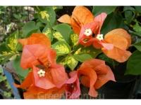 Bougainvillea orange glow