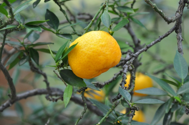 Citrus Myrtifolia Chinotto померанец