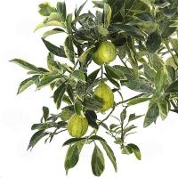 Orangequat Variegato (Citrus sinensis x Fortunella margarita)-новинка