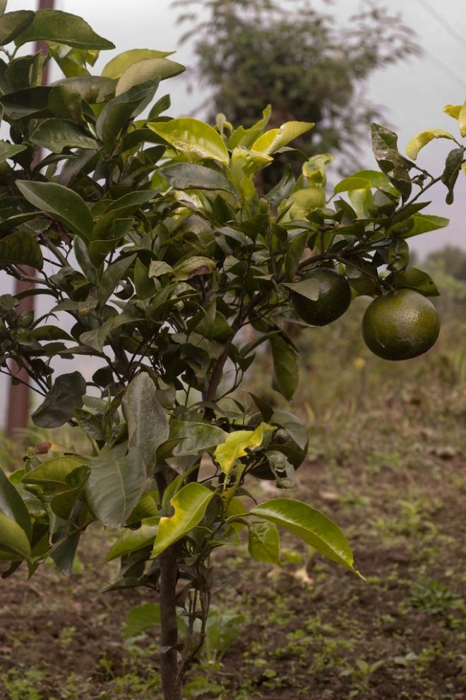 Citrus paradisi 'Bezsemjanyj'