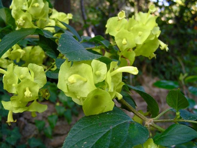 Холмскиолдия желтая, Holmskioldia sanguinea, Холмшельдия