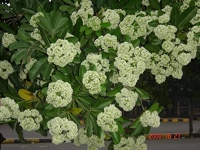 Alstonia SCHOLARIS - Альстония схоларис