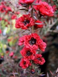 Leptospermum Burgundy Queen