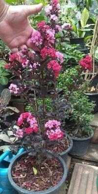 Backhousia myrtifolia- Корица мирт