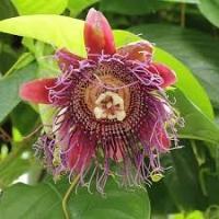 Passiflora decaisneana