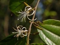 Alangium salviifolium subsp. hexapetalum. -Алангиум сальвиифолиум