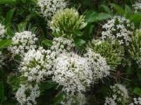 Edgeworthia chrysantha -редкое растение