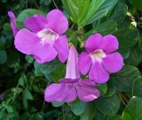 Саритея (Saritaea magnifica)