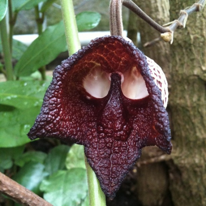 купить Aristolochia salvadorensis Кирказон сальвадорский.