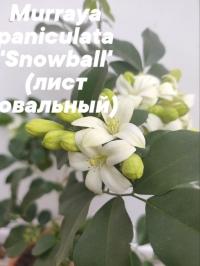 Murraya paniculata 'Snowball' (лист овальный)