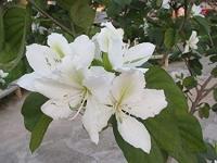 Bauhinia Alba -Орхидейное дерево