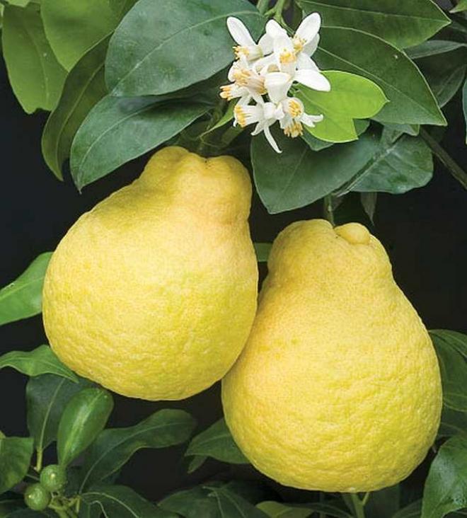 CITRUS LEMON CHYPRE UJUKITSU- сладкий лимон