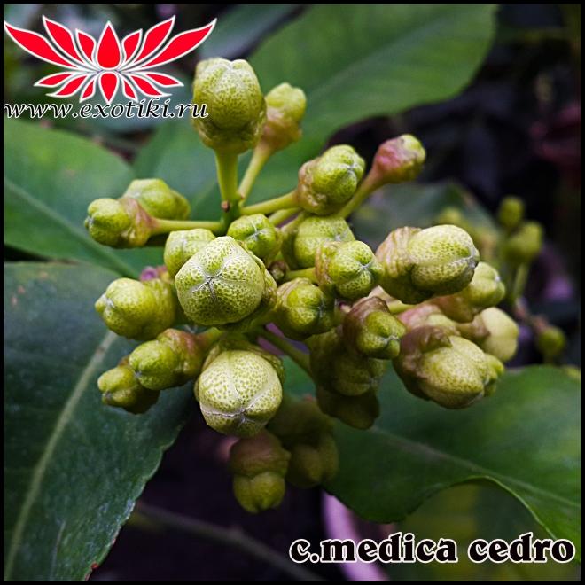 Citrus medica Cedro, цитрон