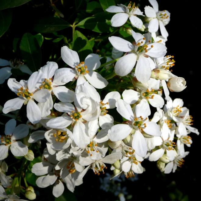 Хоизия тройчатая, апельсиновый цветок, Choisya ternata