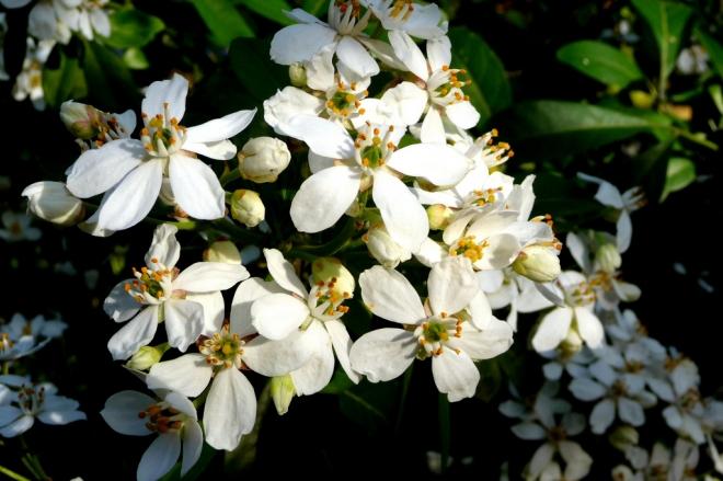 купить Хоизия тройчатая, апельсиновый цветок, Choisya ternata