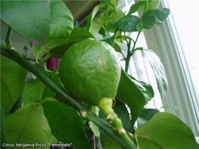 Citrus bergamia Risso Fantastico, бергамот Risso Fantastico