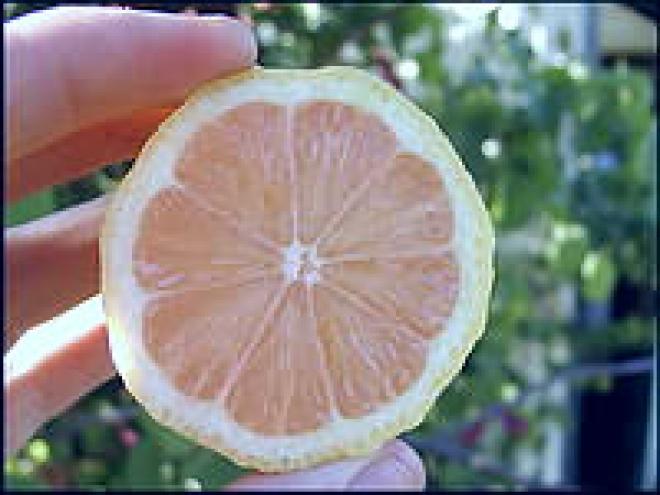 Eureka Lemon Pink Variegata