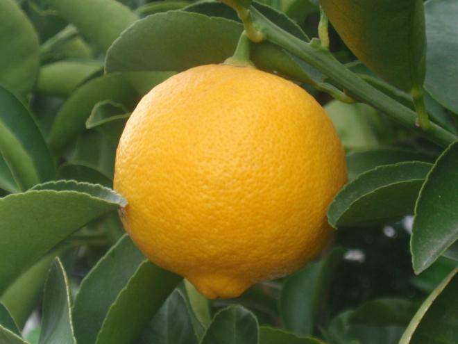Palestine sweet lime, сладкий лайм