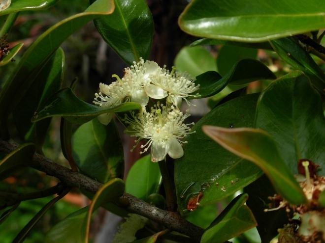 Гуайява  земляничная жёлтая, Psidium cattleianum