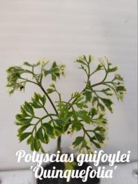Polyscias guifoylei 'Quinquefolia'