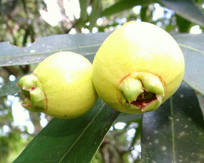Сизигиум ямбоза, Syzygium jambos