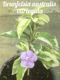 Brunfelsia australis variegata -Новинка -не путать с  Brunfelsia compacta latifolia variegated