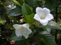 Portlandia grandiflora