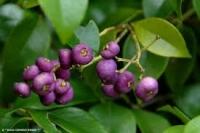 Syzygium francisii