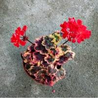 Pelargonium stenbury (фото инет)