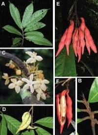 Passiflora х Induza