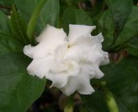 Таbеrnаеmоntаnа flore pleno
