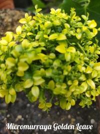 Micromurraya Golden Leave- черенок с фото прививка