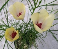 Alyogyne hakeifolia yellow ( новинка)