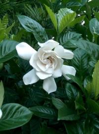 Gardenia magnifica