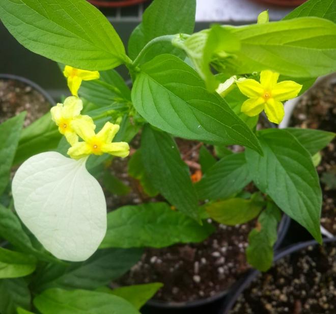 Mussaenda macrophylla flava