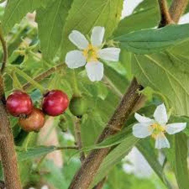 Ямайская вишня- Muntingia calabura - подросток