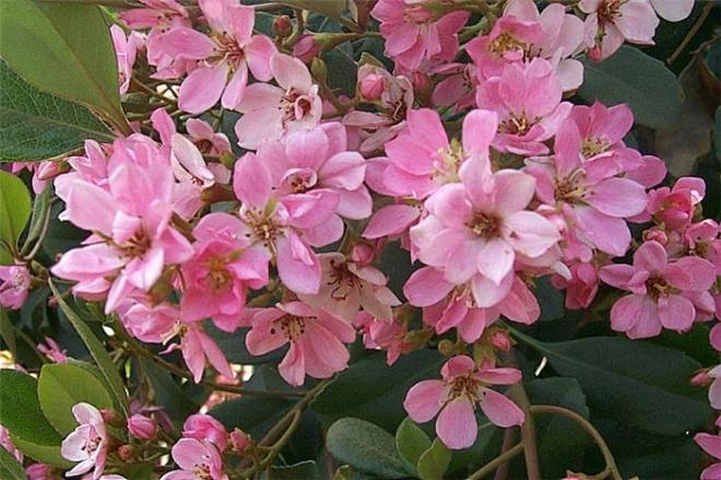 Рафиолепис pink cloud  (от цветущего маточника)