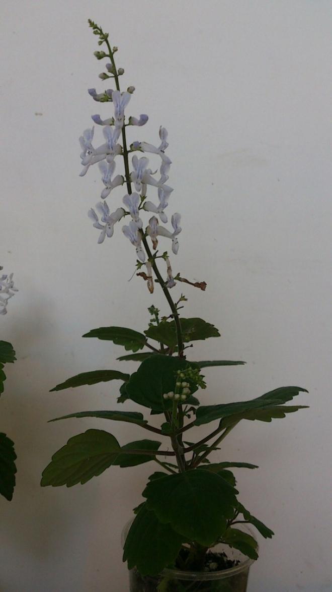 Plectranthus ernstii (каудексный)