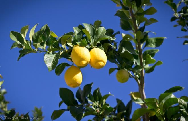 купить растение лимон