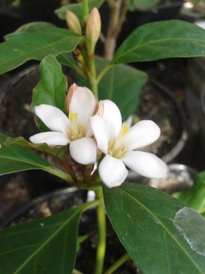 Гардения citriodora (Myriostigma axillare, Gardenia citriodora)