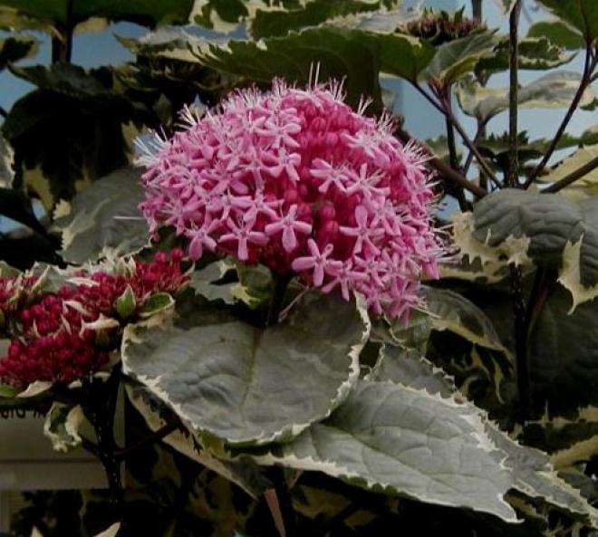 купить растение Clerodendron Bungei Variegata