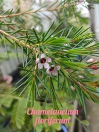 Сhamelaucium floriferum