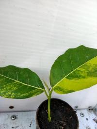 Фикус септика вариегатный растение с фото