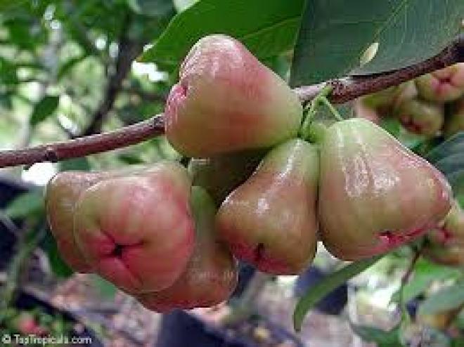 Syzygium samarangense (Яванское яблоко)