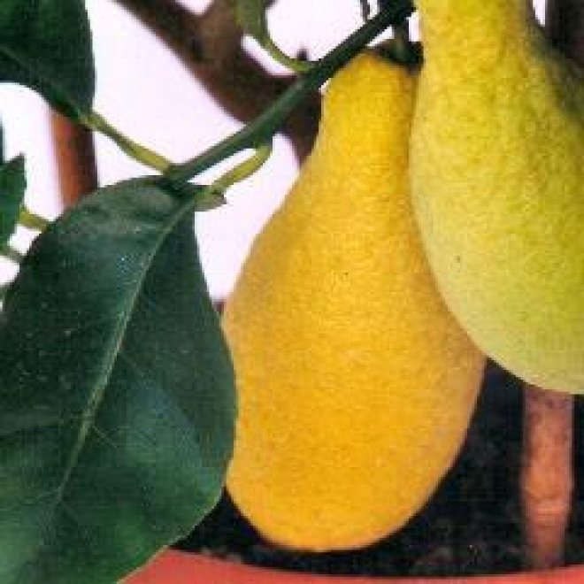 Citrus medica Piretto, Цитрон пиретто
