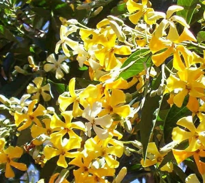 Гименоспорум желтый