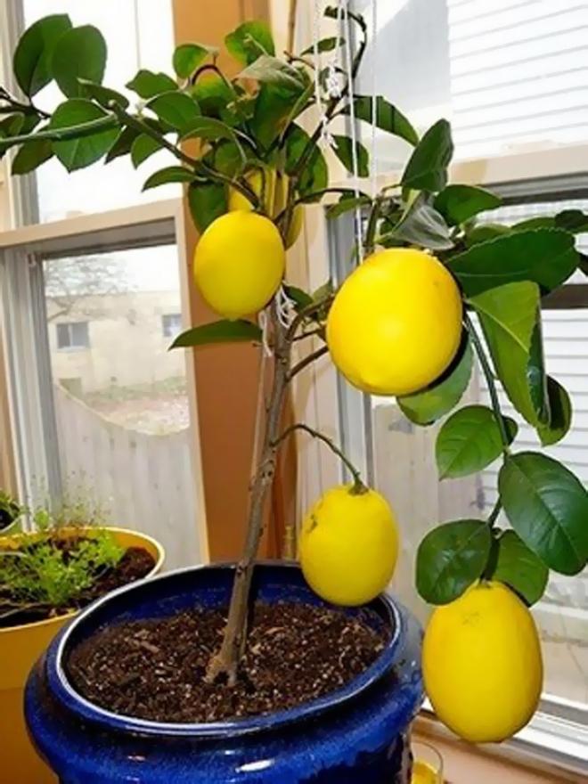 Citrus Limon Genoa