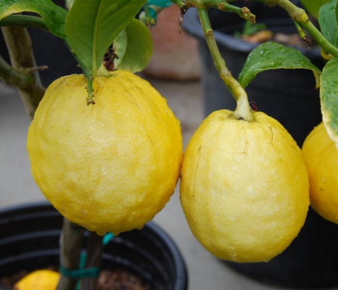 "Citrus medica ""Etrog"", цитрон"