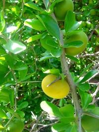 Тропический абрикос Dovyalis caffra (мужское растение)