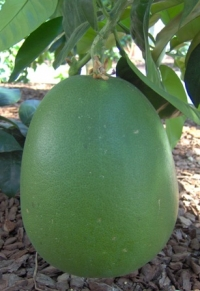 c. grandis a frutto rosso